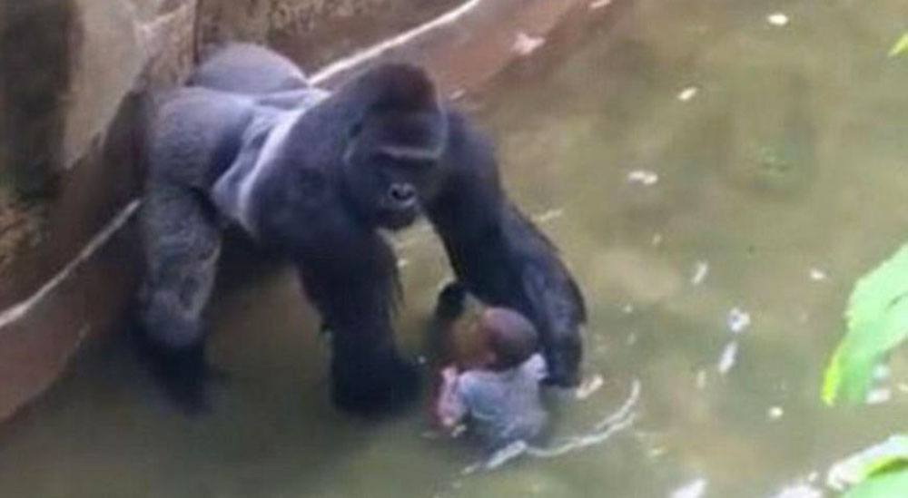 Harambe the gorilla was killed when a child fell into his enclosure at Cincinatti Zoo (Wikipedia)