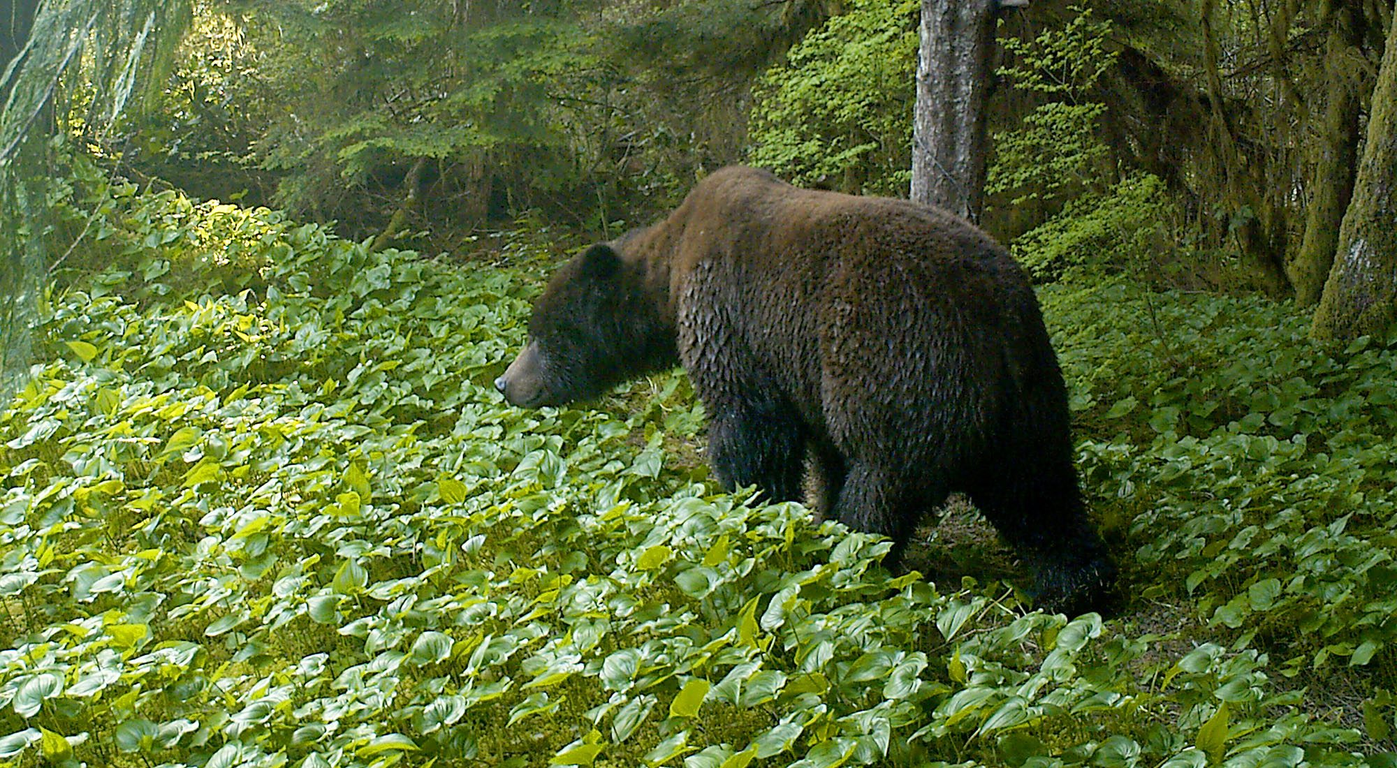 This grizzly was picked up via remote camera on conservation lands in Rivers Inlet in the Great Bear Rainforest. (Nature Conservancy of Canada)