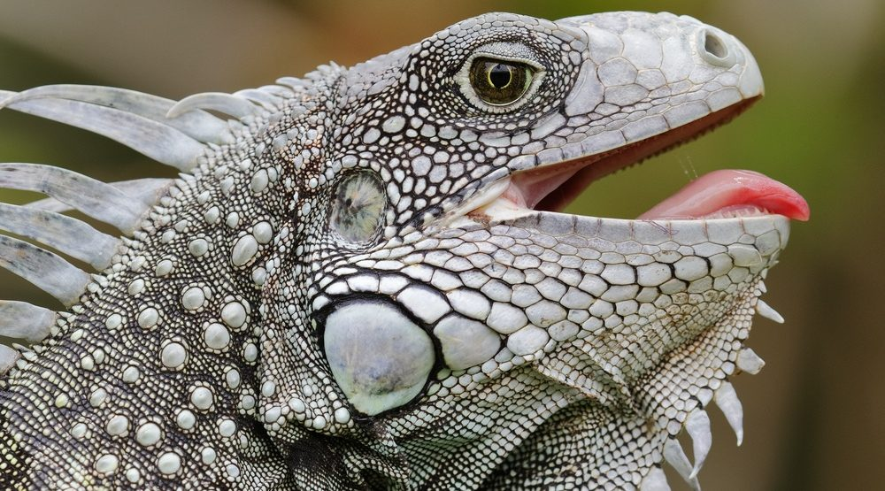 Westjet flight grounded after iguanas escape on plane