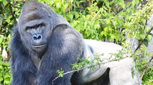 Nearly 1,500 people plan on attending a candlelight vigil for Harambe in Toronto this week