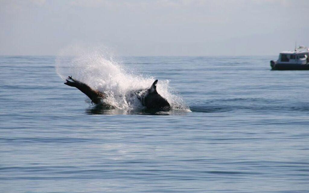 Image: Alethea Leddy/ Port Angeles Whale Watch Company