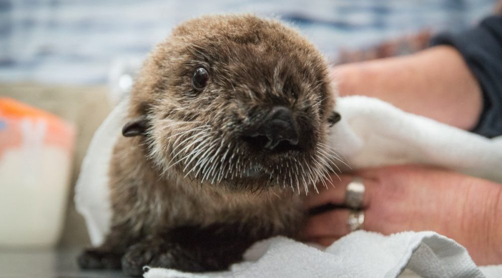 Rialto the rescued sea otter pup settles into new home at Vancouver Aquarium