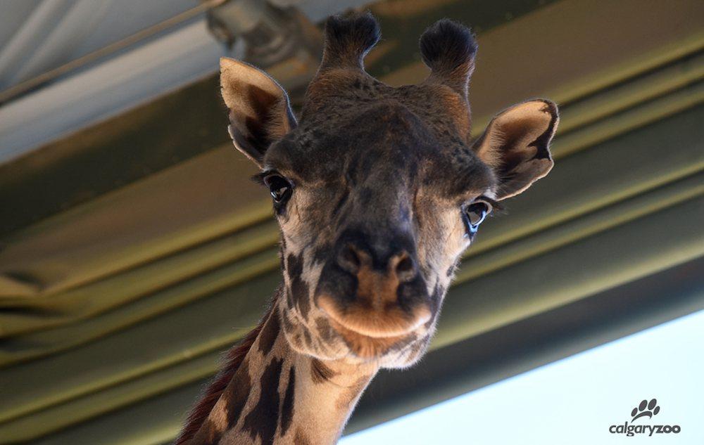The Calgary Zoo welcomes their newest giraffe Emara