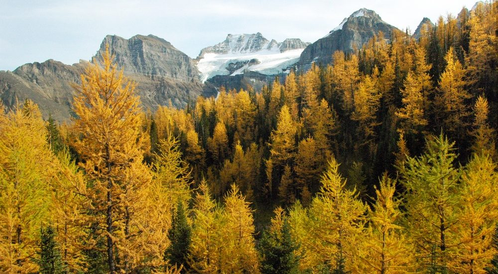 4 great spots to see yellow larches while avoiding the big crowds
