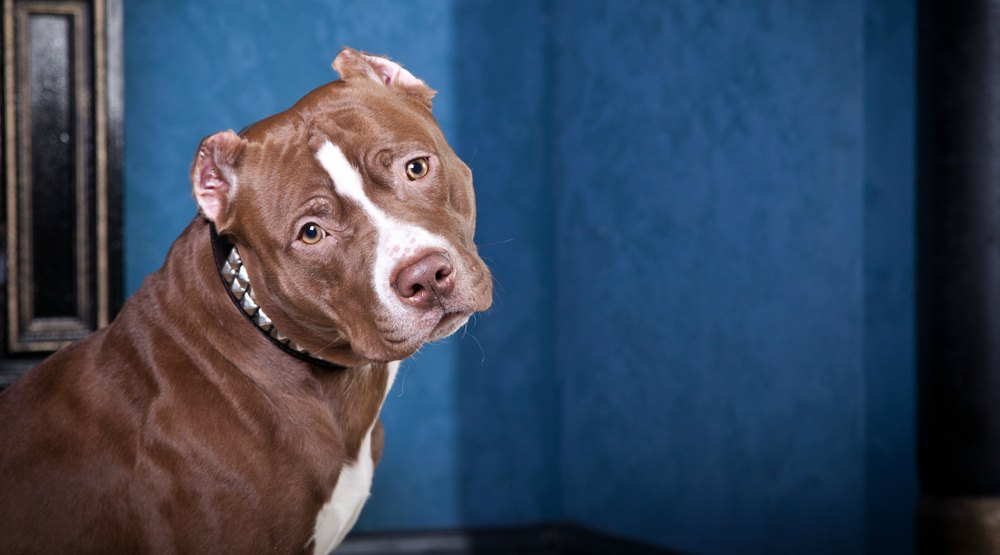 Montreal pit bull ban temporarily suspended until Wednesday