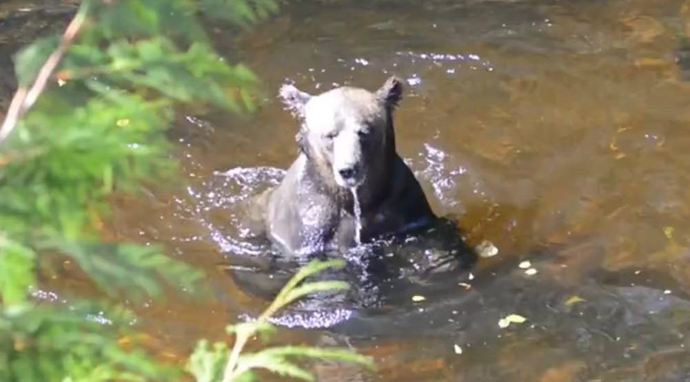 Bear salmon diving bc e1475702537211