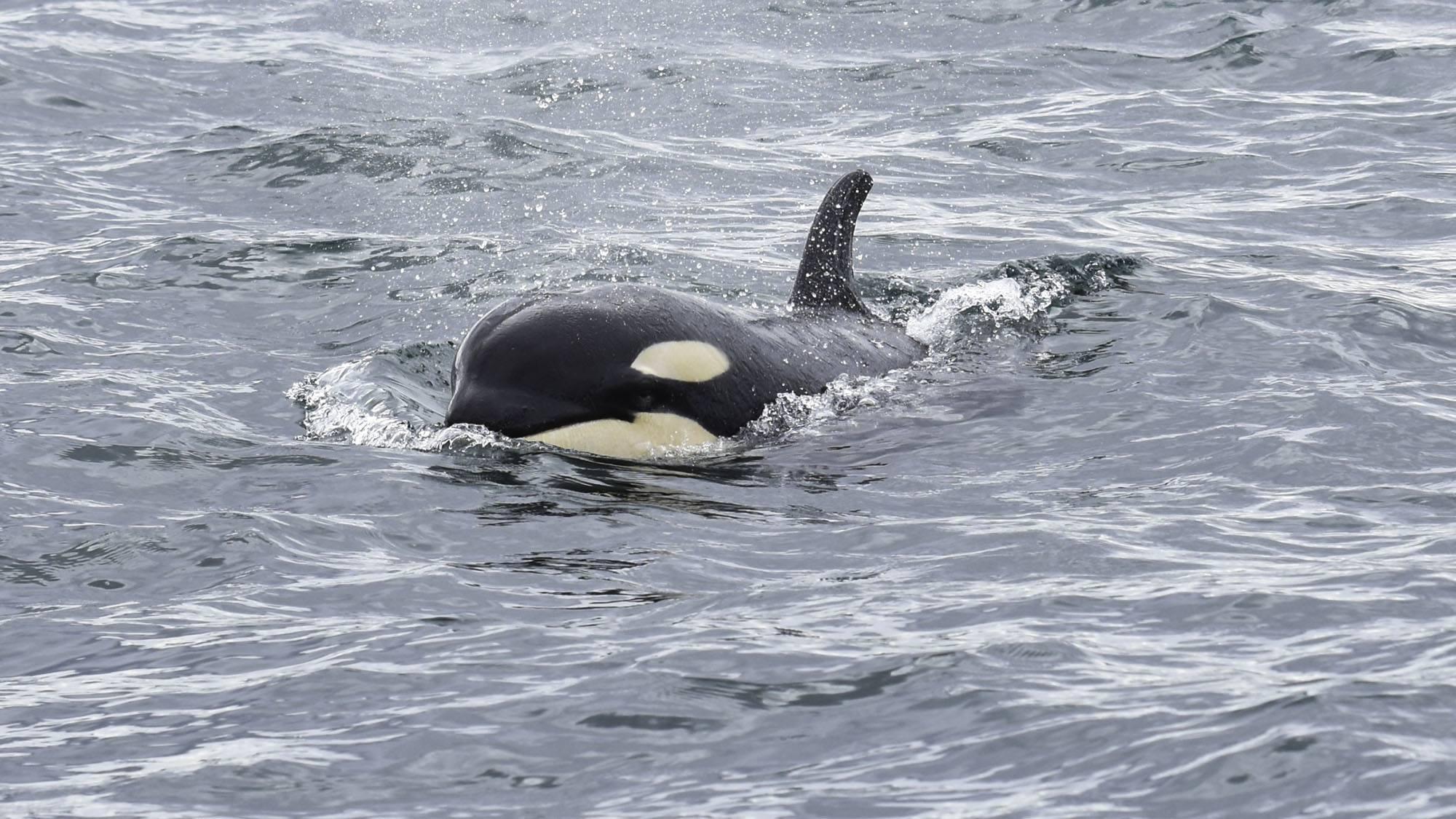 Orca calf Dipper (J54). Photo by Naturalist/Capt Heather MacIntyre, Maya's Legacy Whale Watching, Friday Harbor, WA.