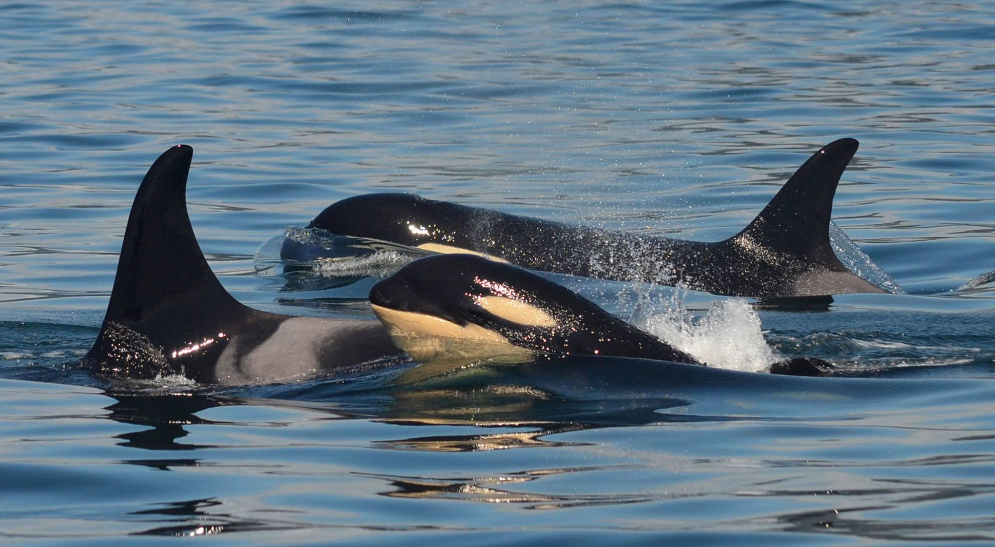 Orca calves Kiki (J53) with Princess Angeline (J17) and Moby (J44). Photo by Naturalist Tasli Shaw, Steveston Seabreeze Adventures, Richmond, BC.