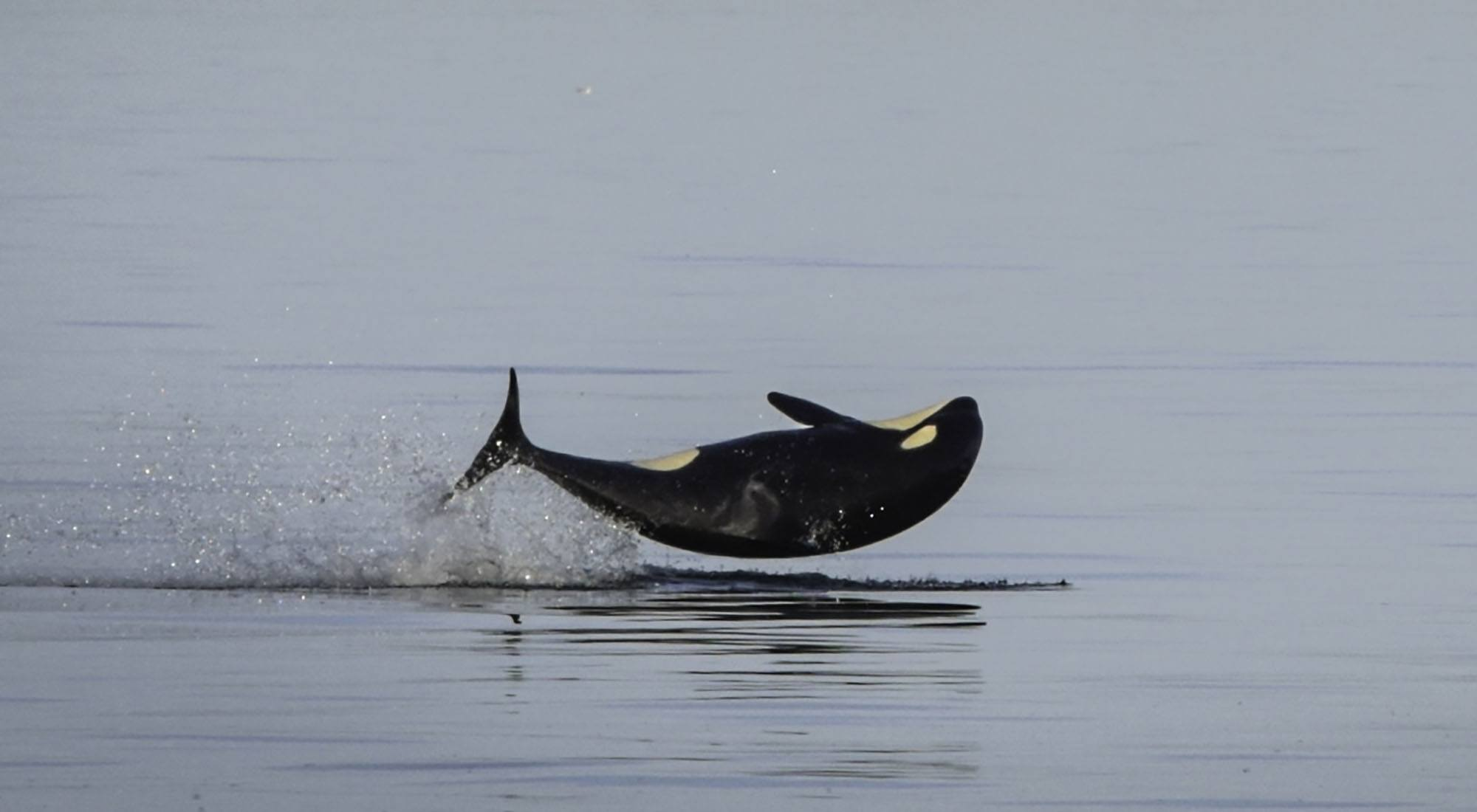 Orca calf Sonic (J52). Photo by Naturalist/Capt Heather MacIntyre, Maya's Legacy Whale Watching, Friday Harbor, WA.
