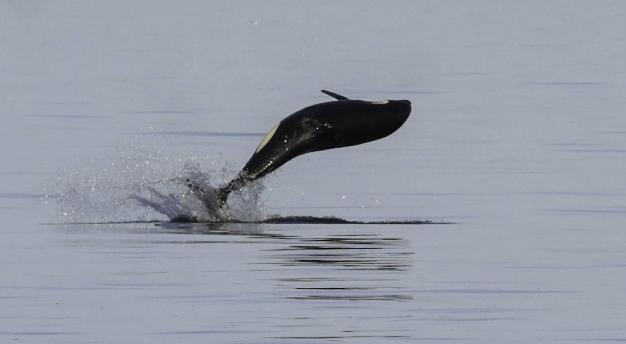 Orca calf Sonic (J52). Photo by Naturalist/Capt Heather MacIntyre, Maya's Legacy Whale Watching, Friday Harbor, WA.