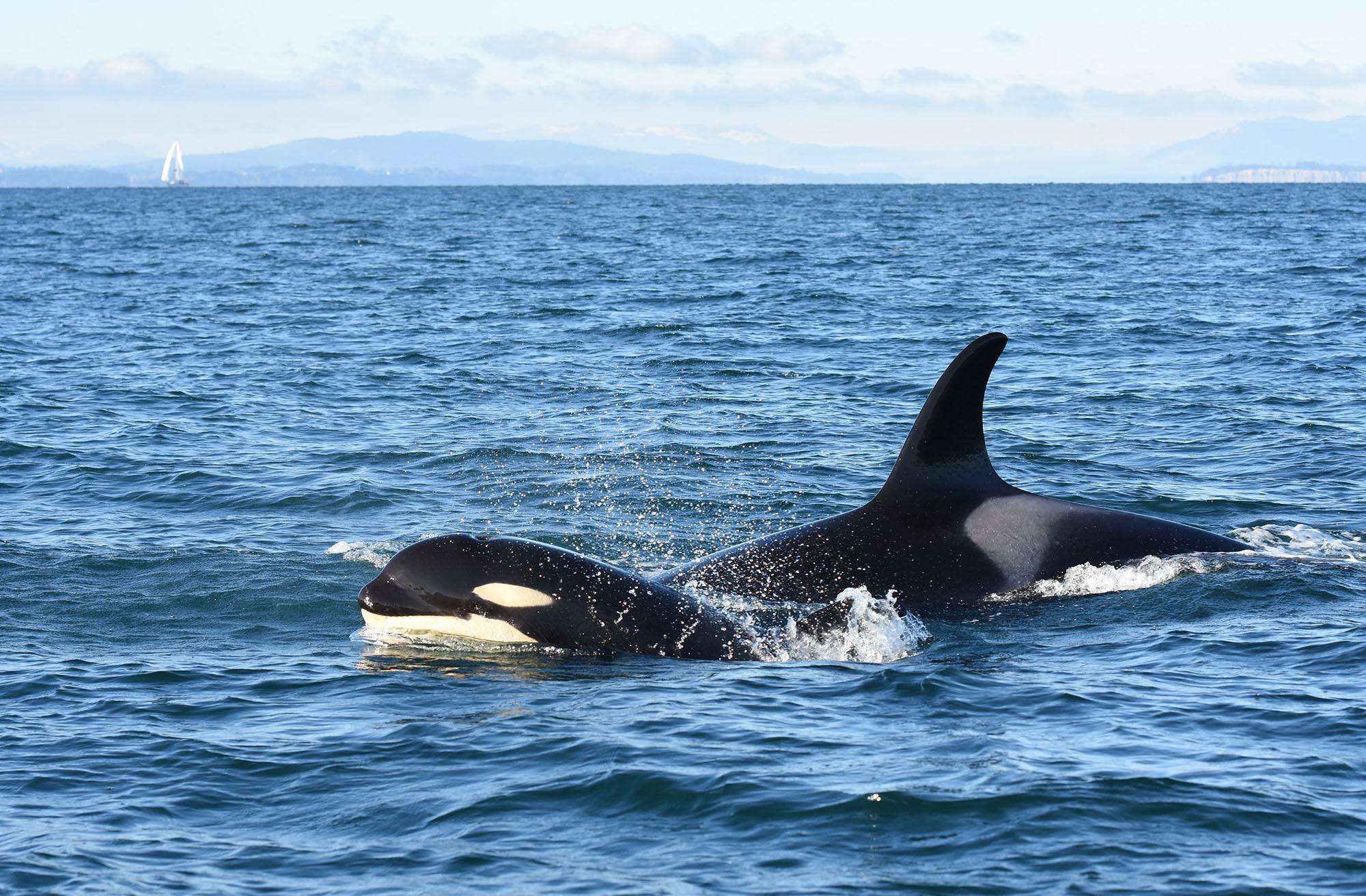 Orca calf Nova (J51). Photo by Naturalist/Capt Heather MacIntyre, Maya's Legacy Whale Watching, Friday Harbor, WA.
