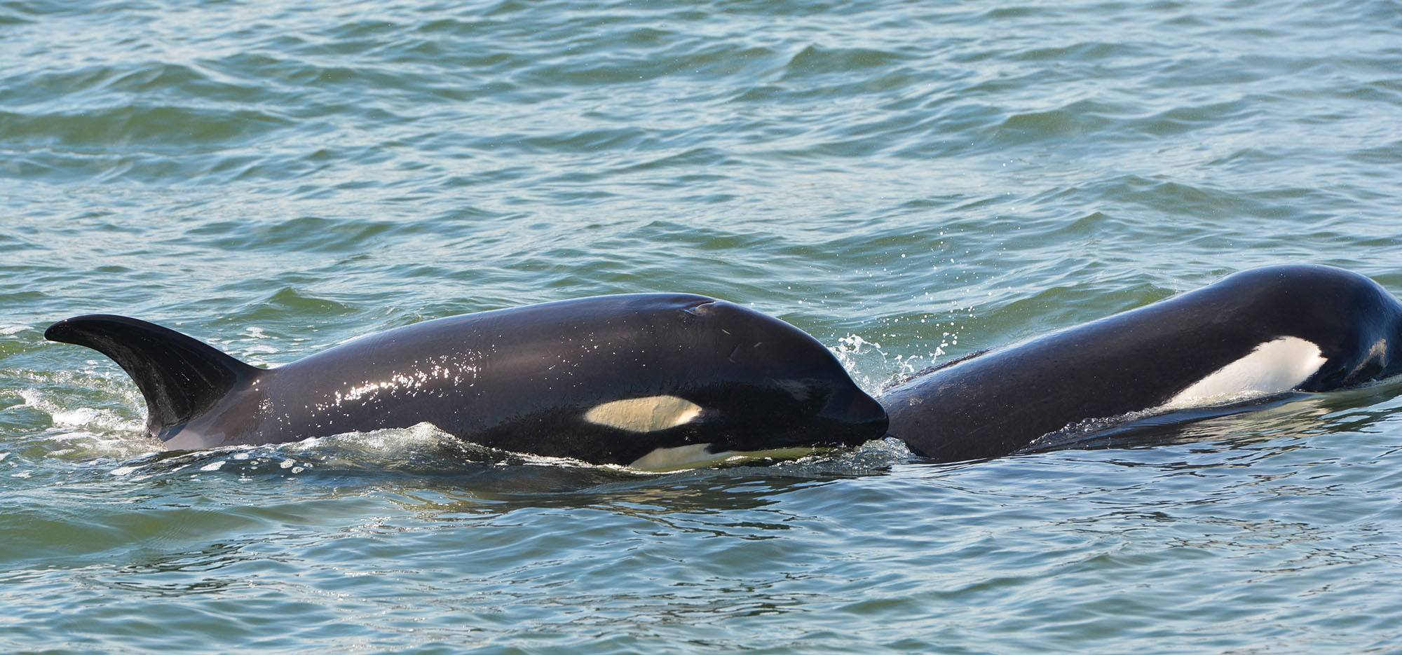 Orca calf Nova (J51) (left) with Shachi (J19). Photo by Capt. Gary Sutton, Steveston Seabreeze Adventures, Richmond, BC.