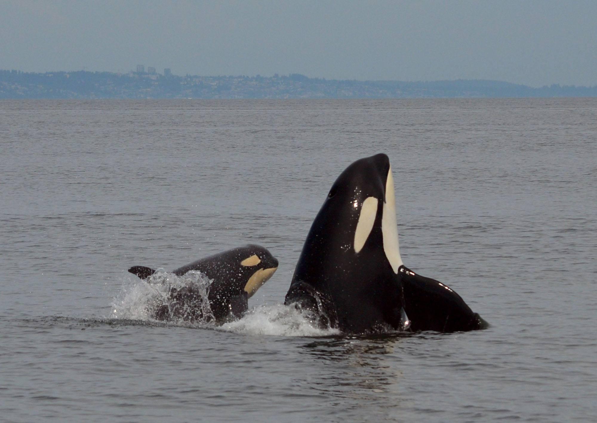 Orca calf Scarlett (J50) with Slick (J16). Photo by Naturalist Tasli Shaw, Steveston Seabreeze Adventures, Richmond, BC.