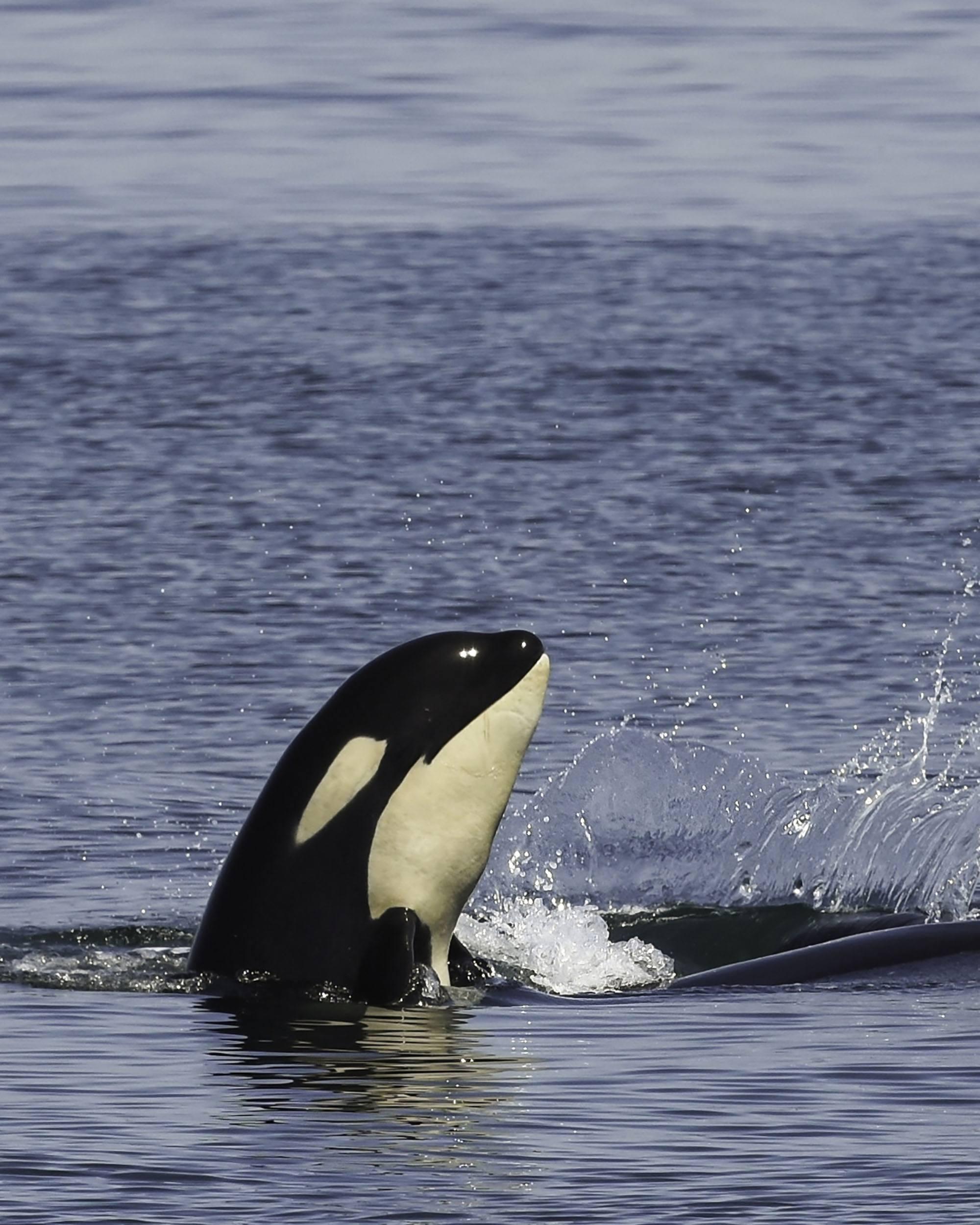 Orca calf Scarlett (J50). Photo by Naturalist/Capt Heather MacIntyre, Maya's Legacy Whale Watching, Friday Harbor, WA.
