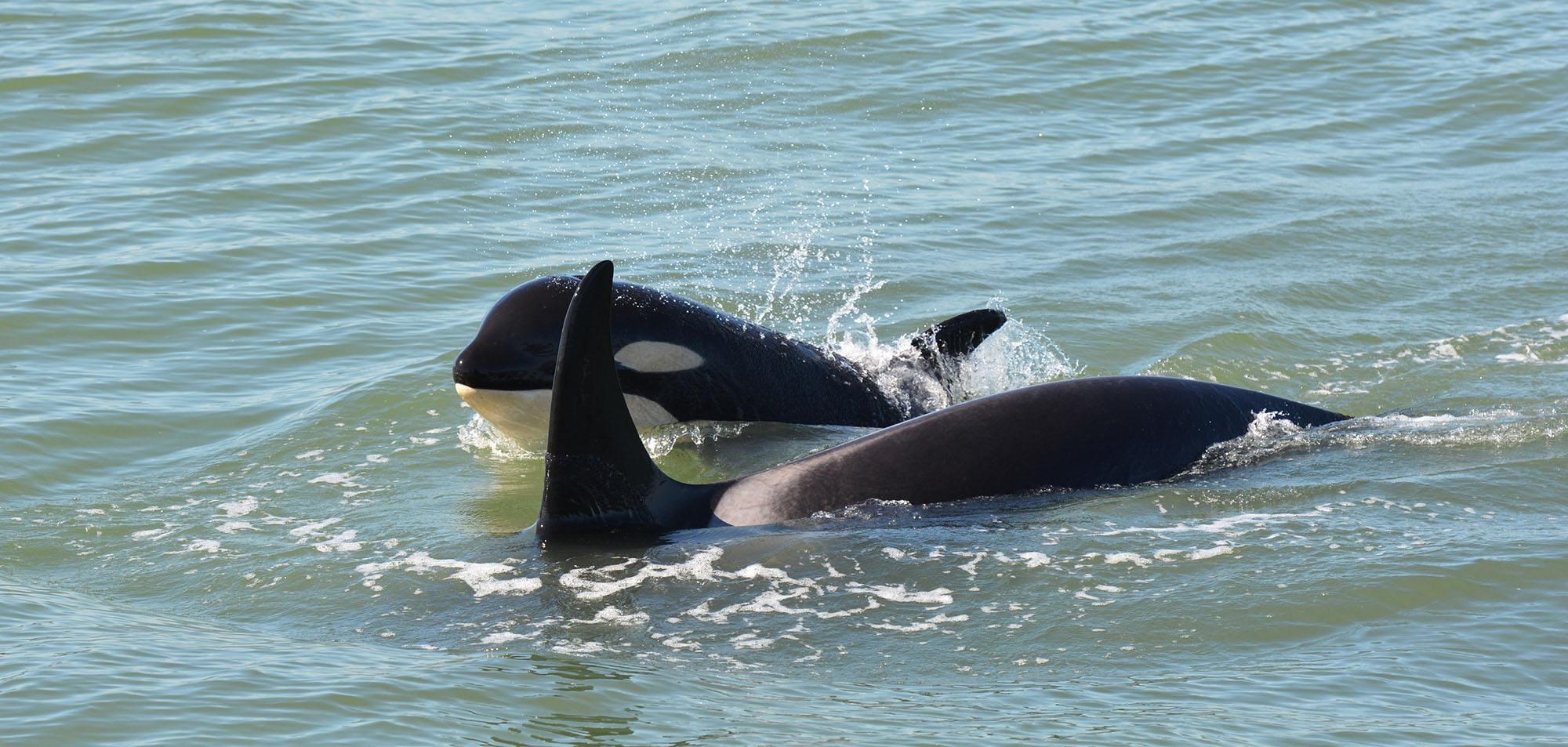 Orca calf Scarlett (J50) with Slick (J16). Photo by Capt. Gary Sutton, Steveston Seabreeze Adventures, Richmond, BC.