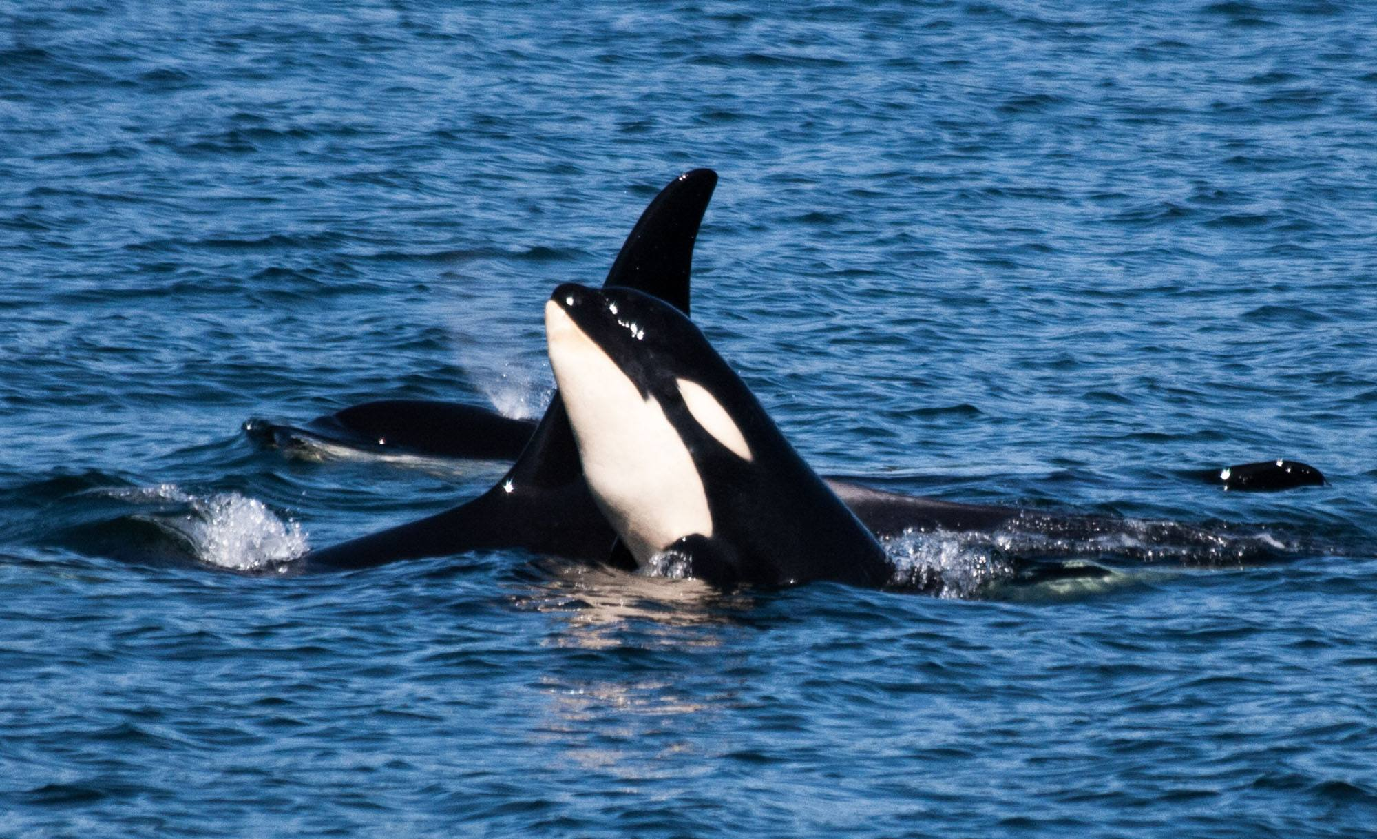 Orca calf Scarlett (J50) with Slick (J16). Photo by Naturalist Renee Beitzel, Puget Sound Express Whale Watching, Edmonds WA