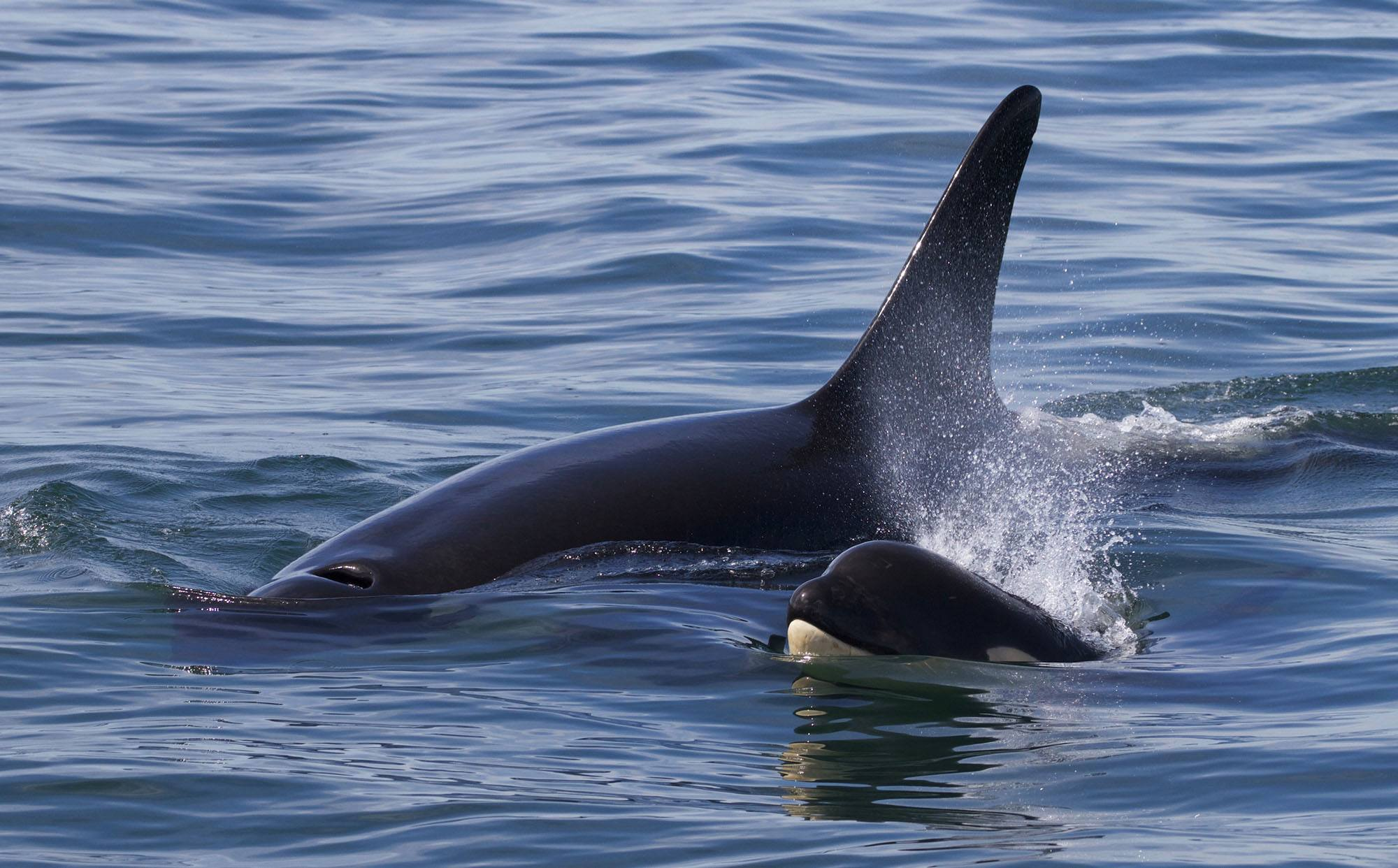 Orca calf Magic (L122) with Muncher (L91). Photo by Andrew Lees, Five Star Whale Watching, Victoria BC