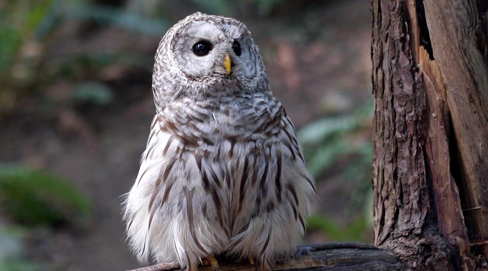 A barred owl (mhgstan/Shutterstock)