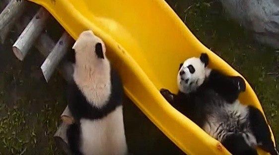 You can live stream the Toronto Zoo's giant pandas 'celebrating' their 1st birthday