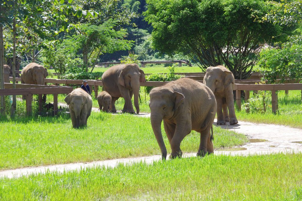 Elephants at the Elephant Nature Park in Chiang Mai, Thailand. (Allison Wallace)