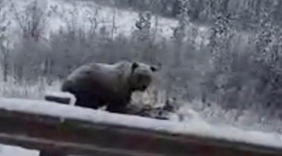 Ontario band tours western Canada, comes across grizzly bear eating a moose (VIDEO)