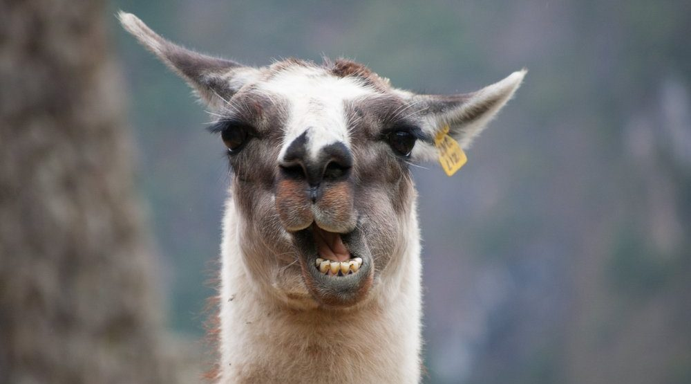 'My llama is sick' and other crazy excuses for skipping work in 2016