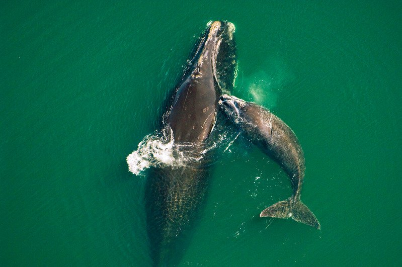 Northern right whale mother and calf (Eubalaena glacialis). (Brian J. Skerry/National Geographic Stock/WWF)