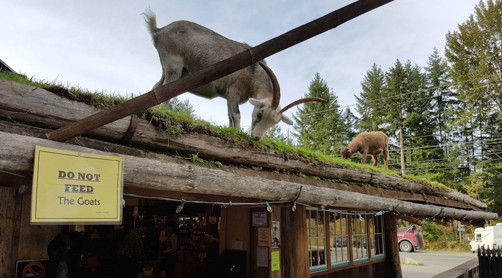 Coombs old country market vancouver island goats 7