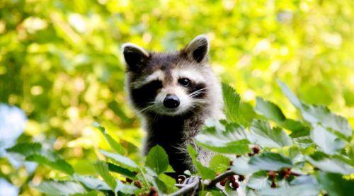 Toronto Raccoon