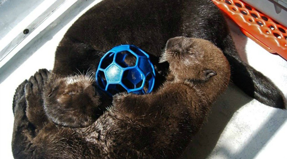 Say hi to the Vancouver Aquarium's two newest otters