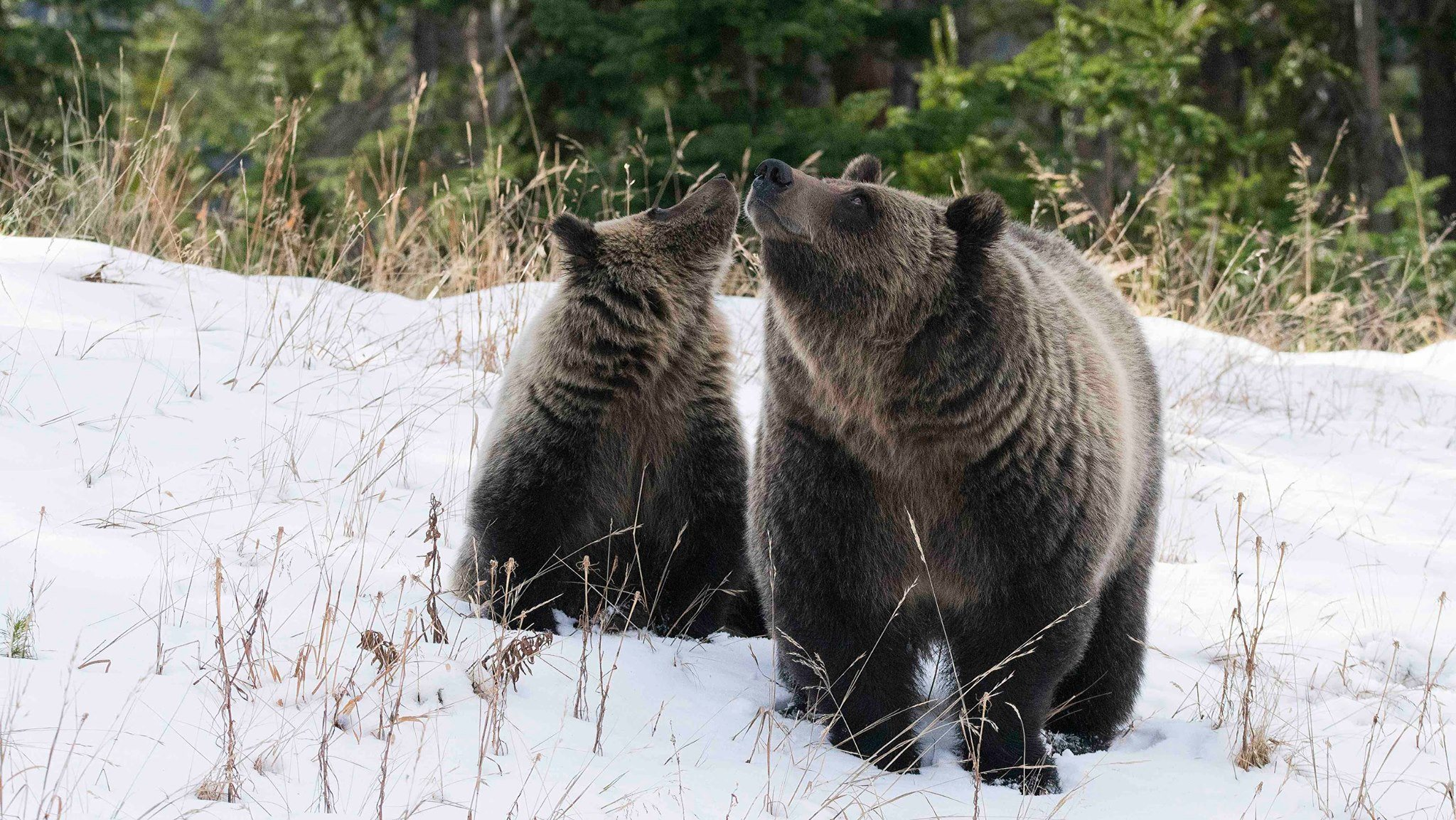 A grizzly bear mother and cub (Trophy/Lush)