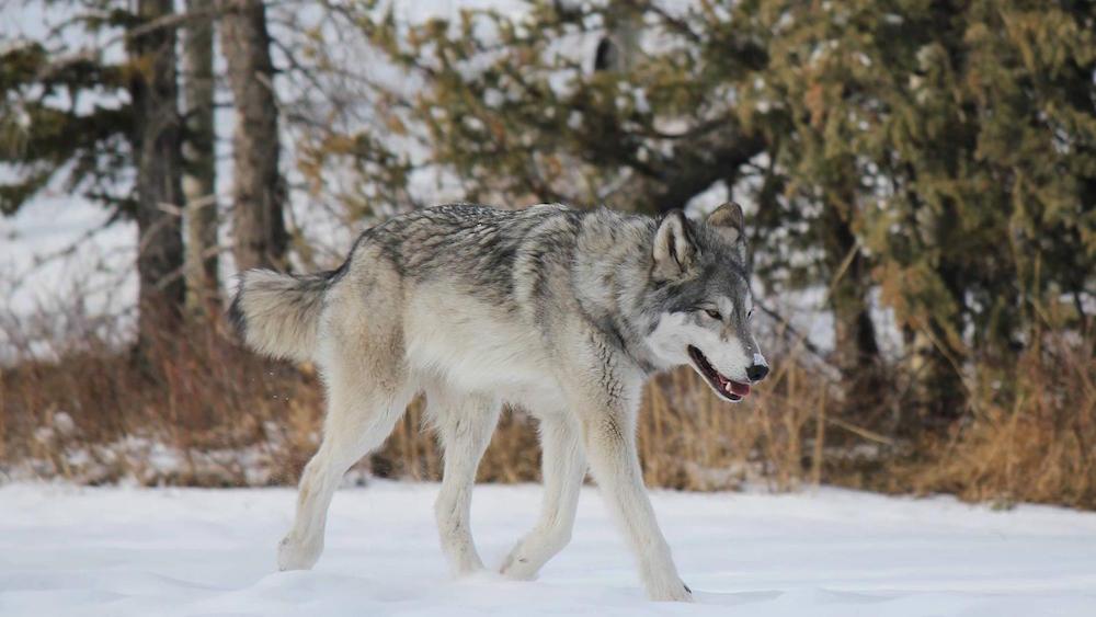 Image: Yamnuska Wolfdog Sanctuary / Facebook