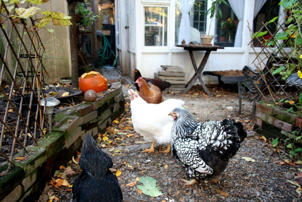 toronto backyard chickens