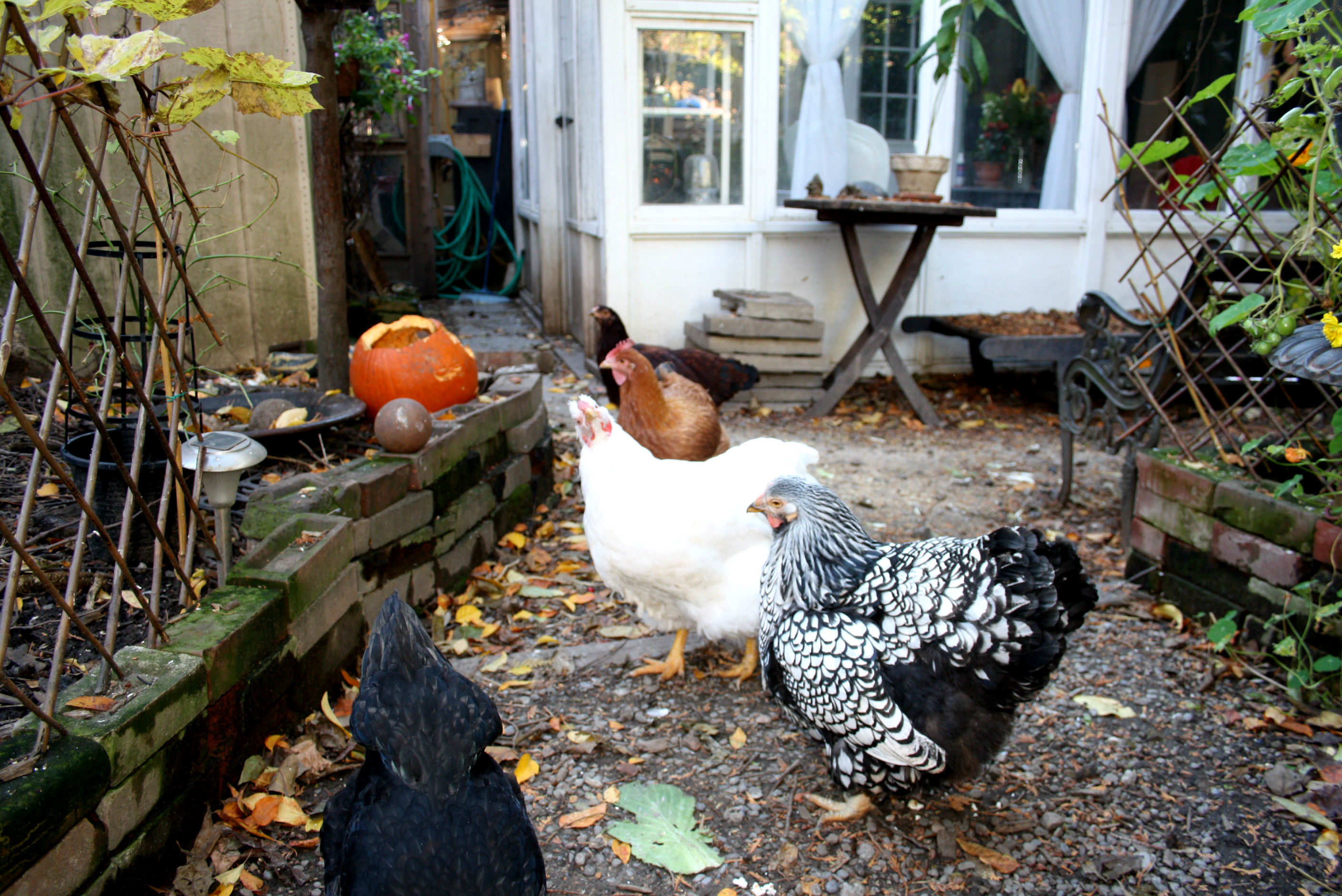 City Council approves backyard chicken pilot in Toronto ...
