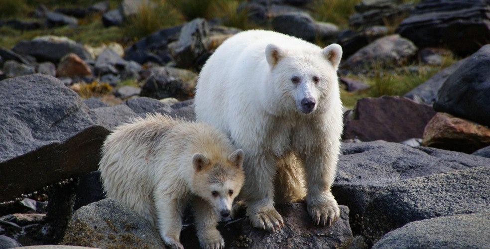 Spirit bear great bear rainforest 984x500