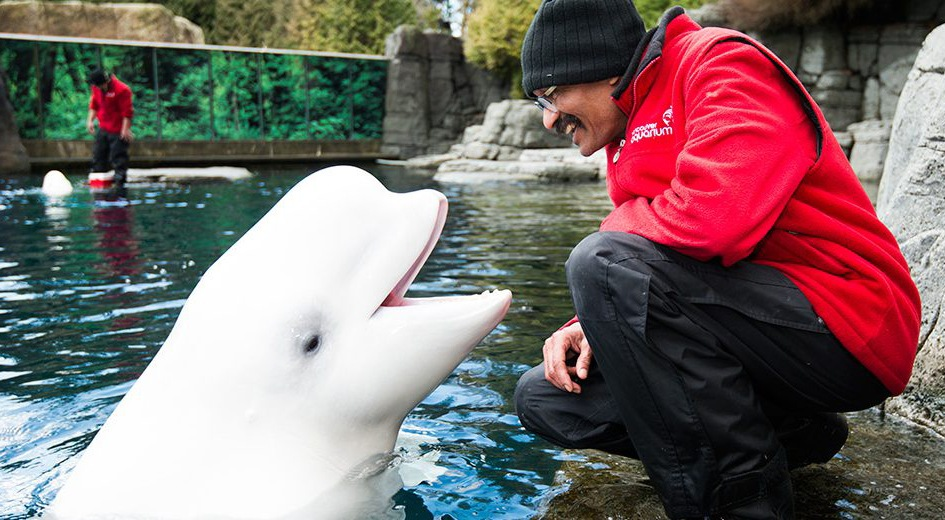 Qila the beluga whale with a Vancouver Aquarium worker (Vancouver Aquarium)