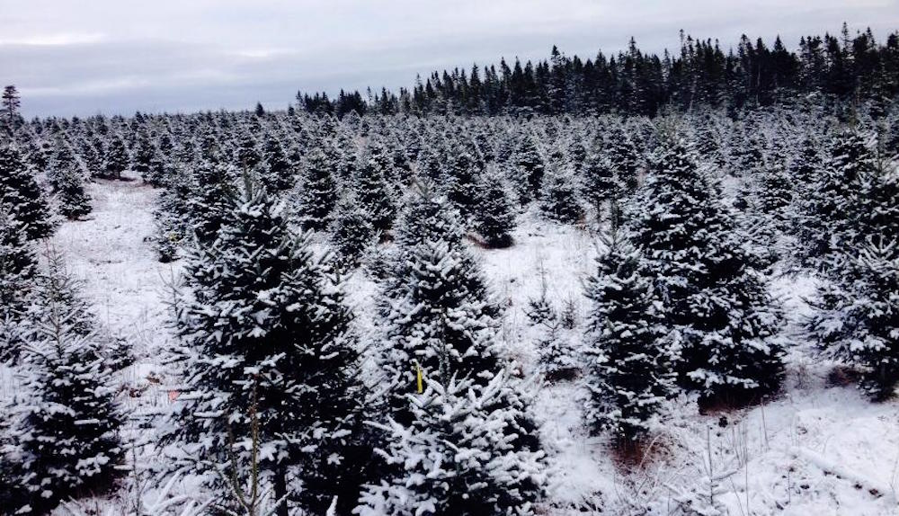 Christmas Forest.8 Places To Get The Perfect Christmas Tree In Calgary Listed