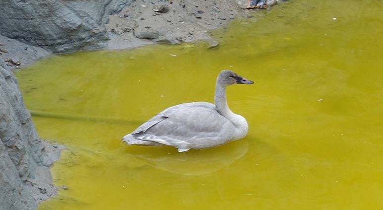 Swan rescued after surviving swim in polluted pit in Vancouver