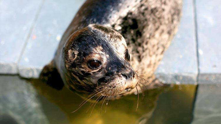 A file photo of a harbour seal in the Vancouver Aquarium's Marine Mammal Rescue Centre (Vancouver Aquarium)