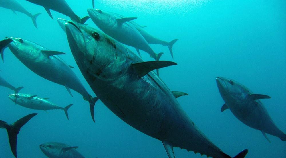 Blue fin tuna shutterstock