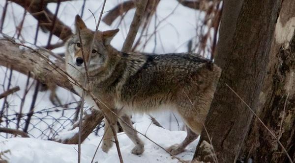 Toronto neville park coyote eying breakfast 5407138081