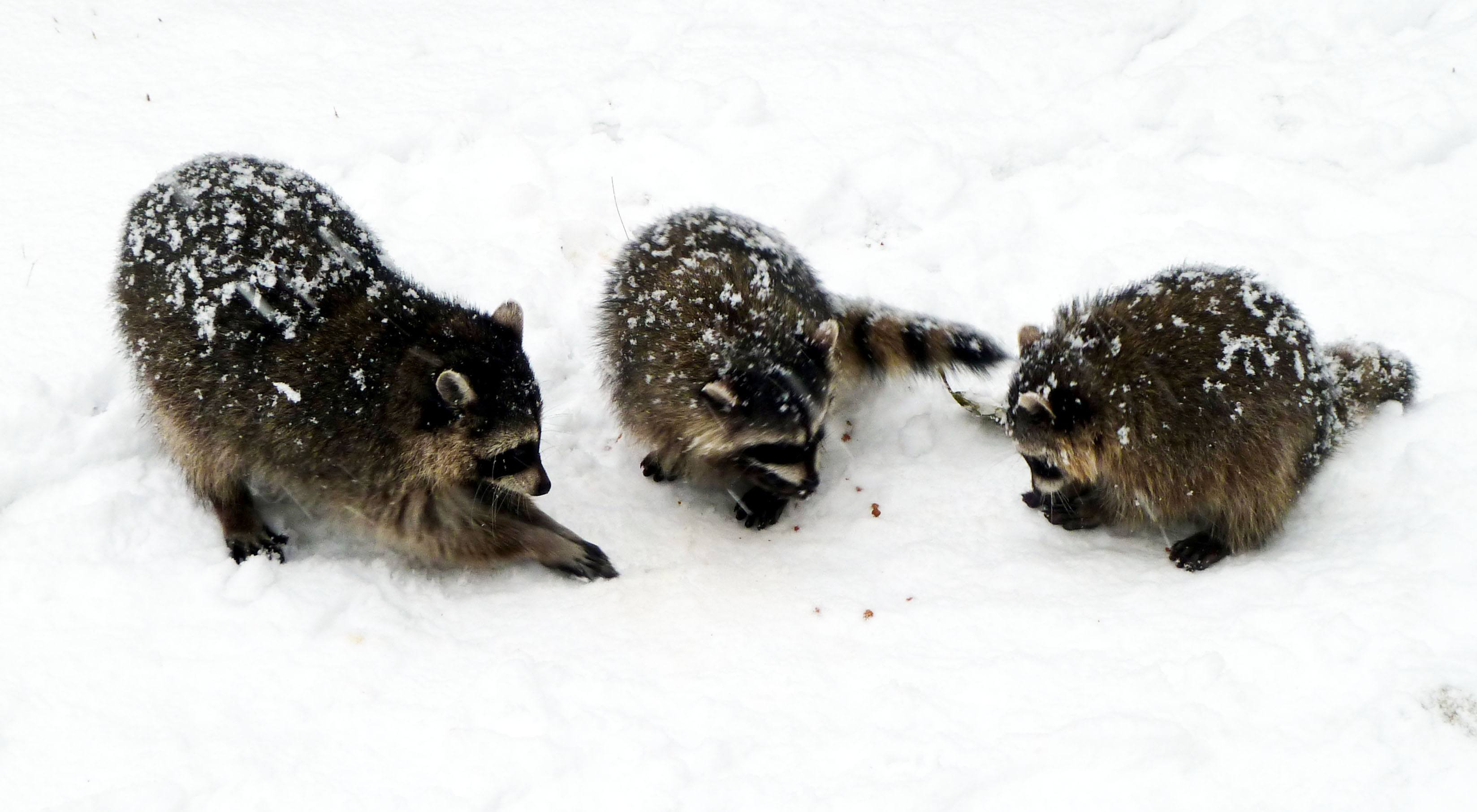 Raccoons playing in snow near Lost Lagoon in Stanley Park (Wendy Cutler/Flickr)