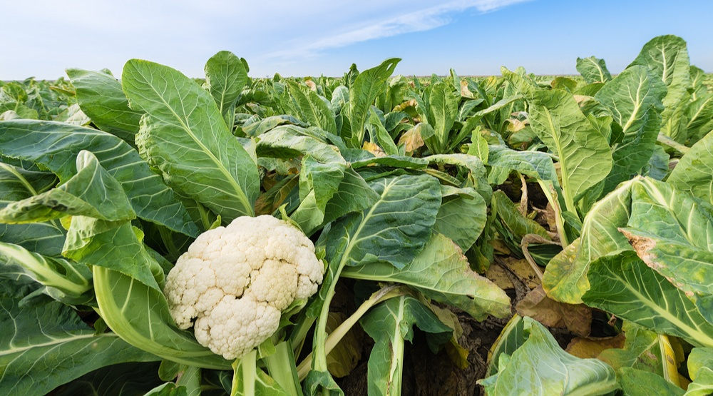 Cauliflower growing in a field (Avatar_023/Shutterstock)