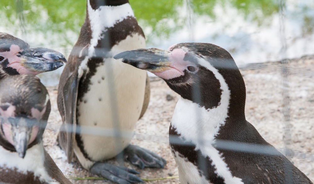 Calgary Zoo reports 7 penguins found dead this morning