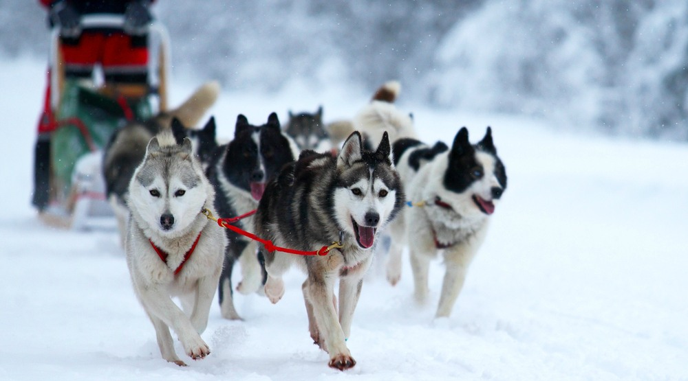 You can go dog sledding 5 minutes from downtown Montreal