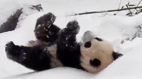 Toronto Zoo's panda cubs playing in the snow will warm your cold, dead heart (VIDEO)