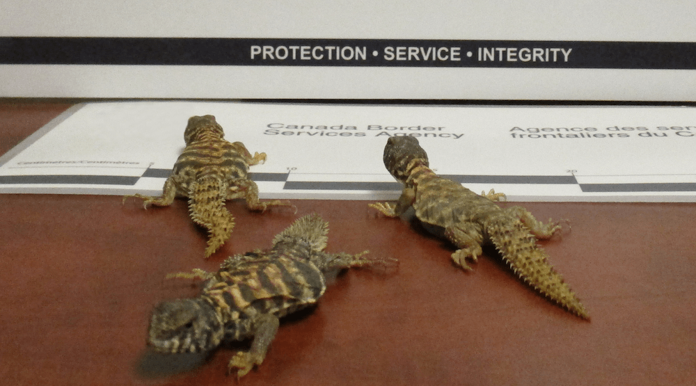 Man fined $6000 after smuggling lizards over Abbotsford border in pocket
