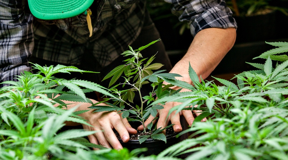 A massive new Canadian marijuana production facility is looking to hire workers
