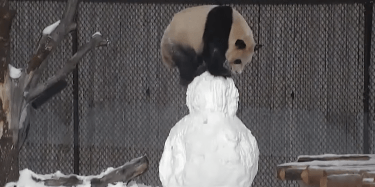 Toronto Zoo releases incredibly adorable video of panda playing with snowman (VIDEO)