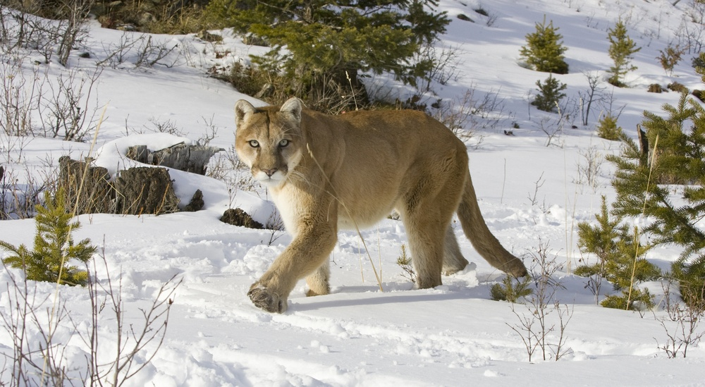 Alberta man punches cougar in the head to save his dog